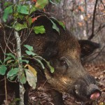 Hunt Wild Pigs and Use Their Delicious Meat