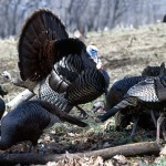 Get Into Public Lands Early to Take a Turkey