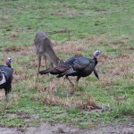 You Can Learn to Hunt Turkeys with No Experience and Not Knowing Any Turkey Hunters