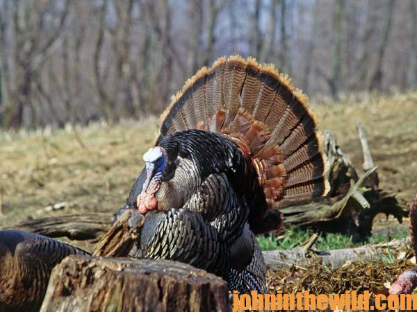 04 You Can Learn to Hunt Turkeys with No Experience and Not Knowing Any Turkey Hunters
