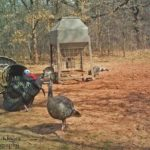 Change Your Decoy Spread Each Time You Set-Up to Call Turkeys