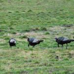 How to Scout on Public and Private Lands for Northern Turkeys before the Season