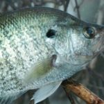 Alabama Crappie Masters' Winning Tactics with Billy Williams
