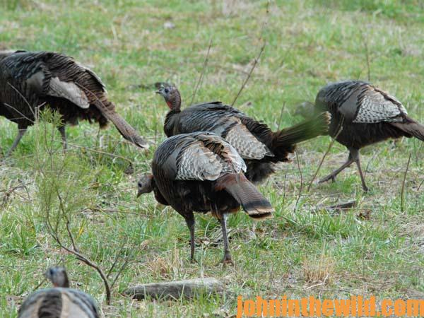 07 When Hen Turkeys Don't Come to You on Public Lands - Don't Move and Here's Why