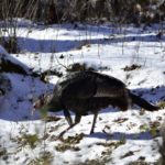 How Cold Weather and No Cover Means Tough Early Season Northern Turkey Hunting