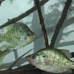 Take Good Care of Your Bait to Catch More Summertime River Crappie