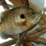 Two Ways to Find Bluegill Beds with Billy Blakely