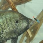 Don't Give Up the Brush Yet When Fishing for River Crappie
