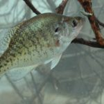 Switching Tactics to Catch Summertime Crappie