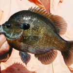 Bluegill Rigs with Reelfoot Lake's Billy Blakely