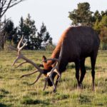 Bag An Elk Early During a 5-7 Day Hunt and Possibly Take a Black-tailed Buck