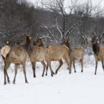 How to Find and Hunt Elk in Bad Weather