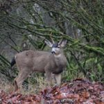 Parrey Cremeans' Biggest Columbian Black-Tailed Buck – Maybe