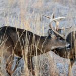 What Happened on a Roosevelt Elk Hunt and Whitetail Hunt