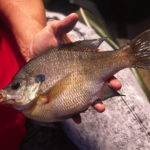 Fly Fishing Beaver Ponds for Bream