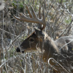 Driving Deer and Missing a Buck