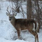 Learn about the Buck Deer's Ways to Do Battle