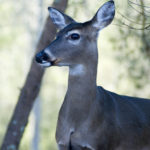 Other Ways to Manage Deer Inexpensively – Chainsaw Management and Fertilizer