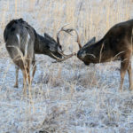Studying Deer Behavior and Scouting the Hunter