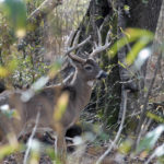 How to Insure Your Property Has Buck Deer