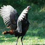 J. R. Keller Answers More Turkey Hunting Questions