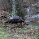 Watch and Listen to Turkeys to Take a Bad Turkey with Walter Parrott