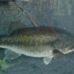 The Guntersville Bass Are in the Lily Pad Stems in Late March and Early April