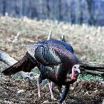 More of Wayne Carlton's Most Frequently Asked Turkey Hunting Questions