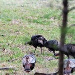 What Are Calls for Turkey Gobblers and How and When to Use Them