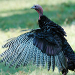 Don't Overhunt Turkeys with John E. Phillips