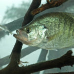 Use Proper Equipment and Fish Correct Depth to Catch Crappie with Roger Gant