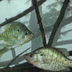 Know Where Crappie Are with Roger Gant