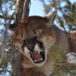 How Utah's Lynn Worwood Started Mountain Lion Hunting