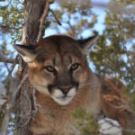 What Breed of Dog Is Best for Hunting Mountain Lions
