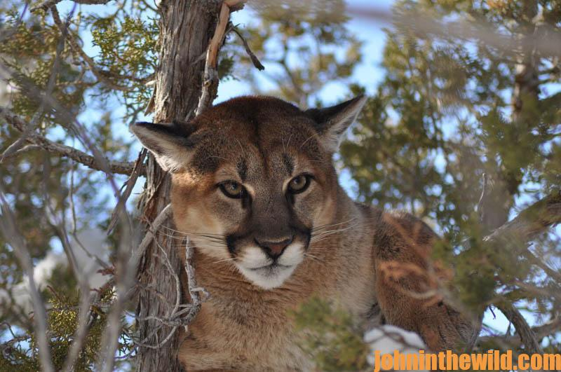 What Breed of Dog Is Best for Hunting Mountain Lions | John In The