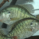 Why Tony Adams Doesn't Use a Bobber Stopper to Catch Crappie