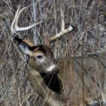 Talking to the Buck Deer and Eliminating Odors