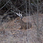 Pinpoint Bedding, Escape and Night Trails Deer Use