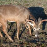 What Is a Trophy Buck Deer and How Do You Find Him with Dr. Karl Miller