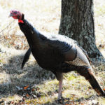 Rod Haydel and David Hale Hunt and Take Tough Turkeys