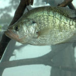 What Five More Mistakes Do Wintertime Crappie Fishermen Make with Whitey Outlaw