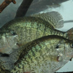How to Catch Cold Weather Crappie on the Worst Crappie Lake in America at the Worst Time of the Year