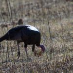 Turkey Decoys When and Why to Use Them
