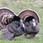 Why and How to Hunt Merriam's Turkeys – Pattern Them