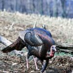 How to Acquire Prime Turkey Hunting Land