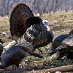 You Can Hunt Henned-Up Gobblers with Alex Rutledge