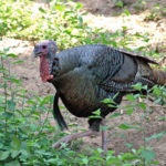 Alex Rutledge Explains the Shot At and Missed Turkey