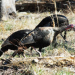 Why Listen to All the Woods Sounds to Take More Turkeys