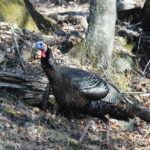 How Important Is Passing On the Turkey Hunting Heritage to Family and Friends