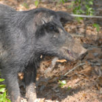 Using Strategies That Take Wild Pigs and Why